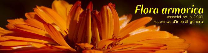 Calendula_officinalis-frukto-003