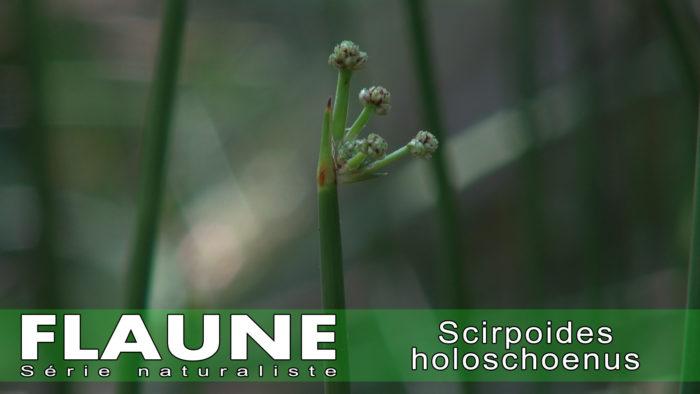 S1E12 - <i> Scirpoides holoschoenus </i>