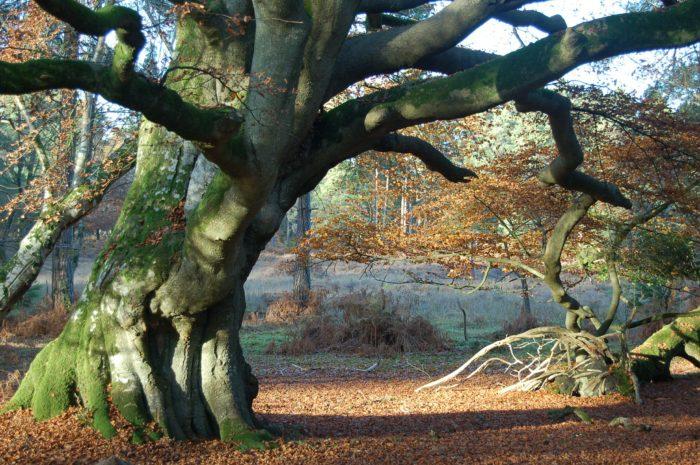 beech-tree-396699_1920