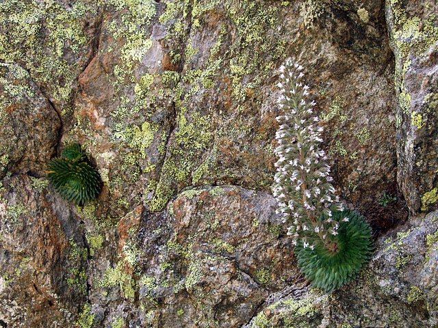 <I> Saxifraga florulenta </I>