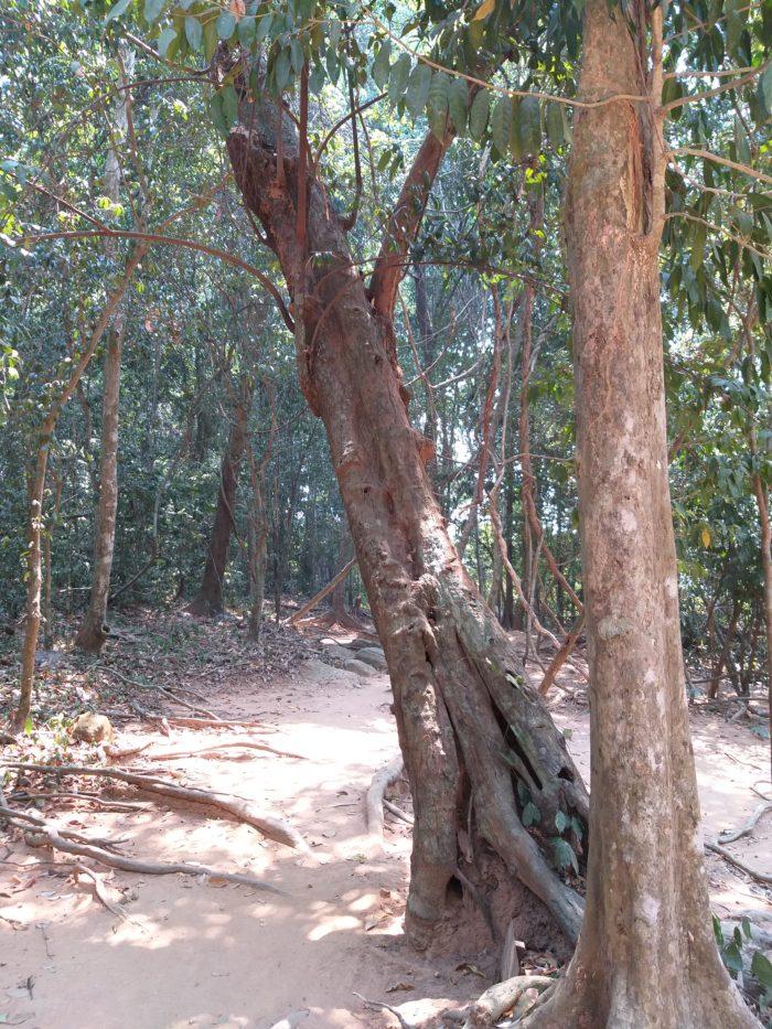 Le tronc penché sur cette photo est celui d'un spécimen de Sphaerocoryne affinis (la photo a été prise à proximité du site de Kbal Spean, dans le parc archéologique d'Angkor) – par Pascal Médeville