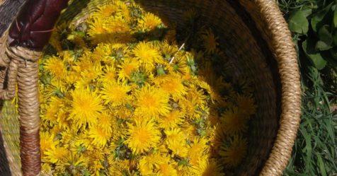 cueillette-plantes-sauvages-476x249