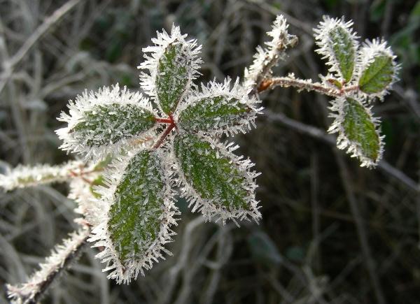 hiver1 Rubus sp par Michel DÉmares