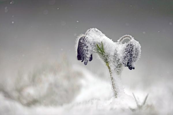 Anemone montana par Guy Armand