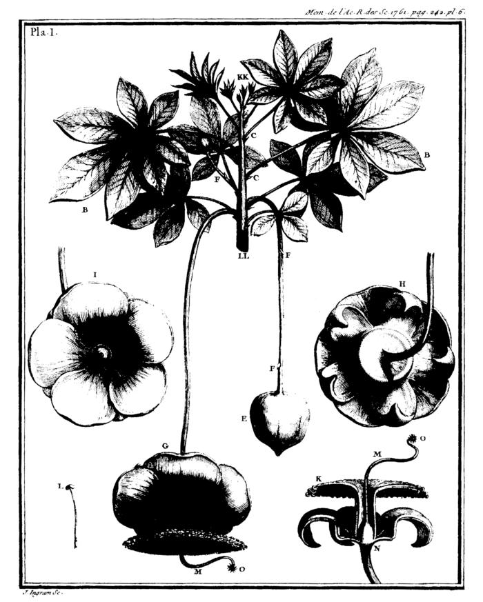 Adanson 1763 baobab planche 1