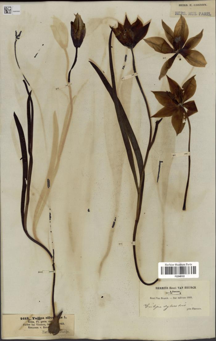 Spécimen de Tulipa sylvestris de l'herbier du MNHN
