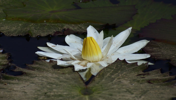 Nénuphar blanc