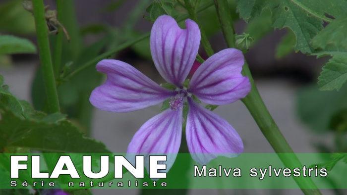 S2E02---Malva-sylvestris