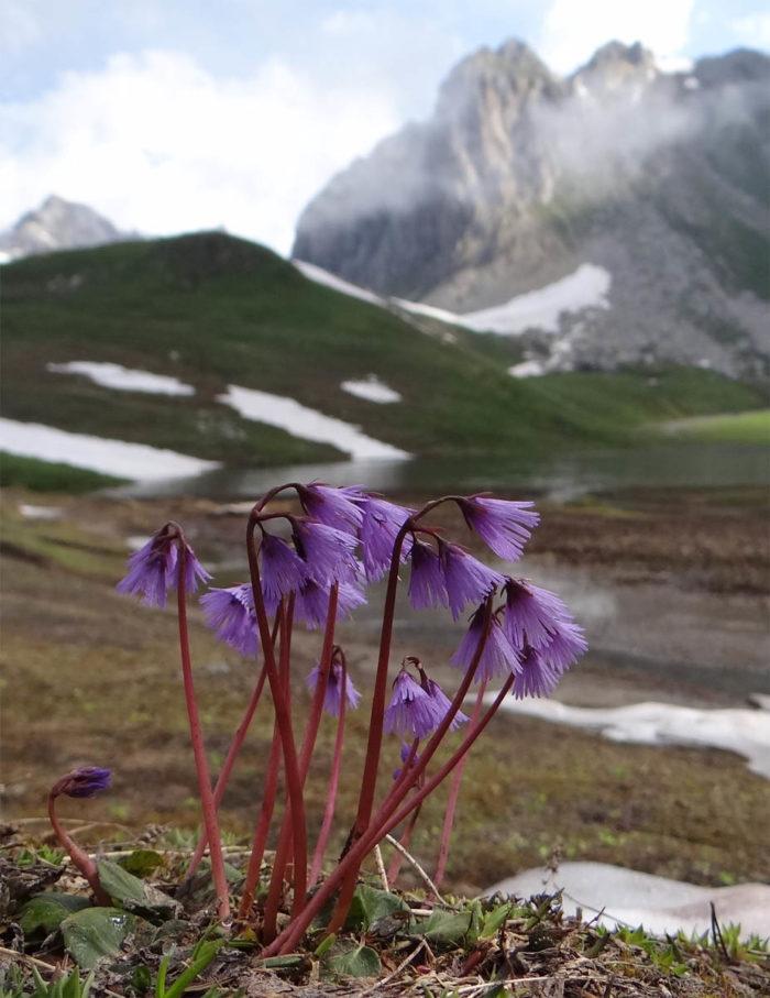 Soldanella alpina L. [1753] (bdtfx) par JeanLoupBenoit