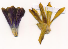 actu Gentiana hybrida