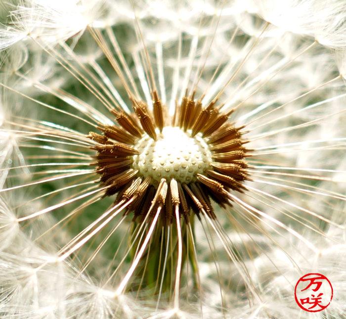 Astéracées - Taraxacum officinalis - Pissenlit Akènes (0)