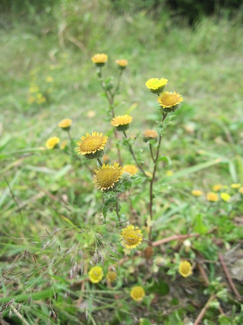Pulicaria vulgaris_ChIleLac_Corrigiola_littoralis_B .Fritsch_CEN Bourgogne