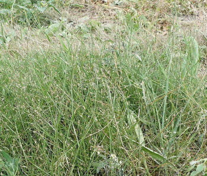 705px-Agrostis_castellana