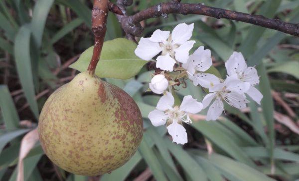 Photo d'un poirier montrant la présence d'une poire à maturité et de fleurs. Illustre une anomalie phénologique