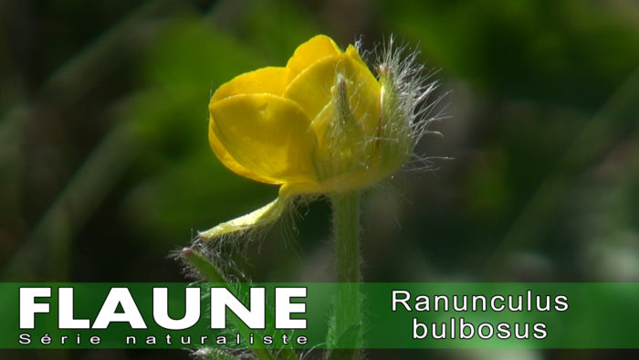 S2E04 - Ranunculus bulbosus