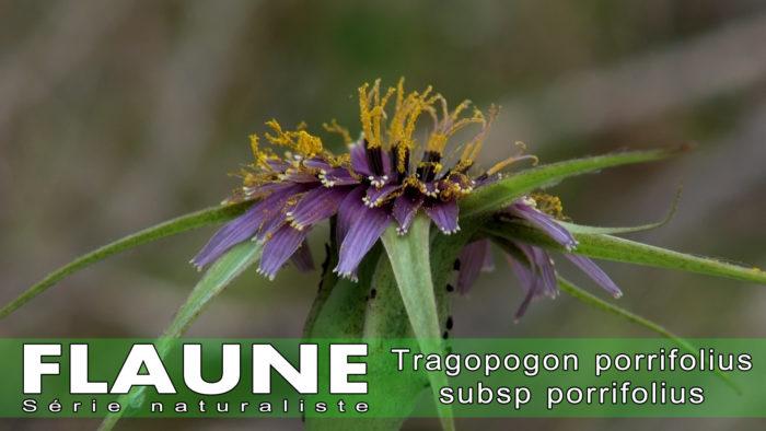 S2E05 - Tragopogon porrifolius subsp porrifolius