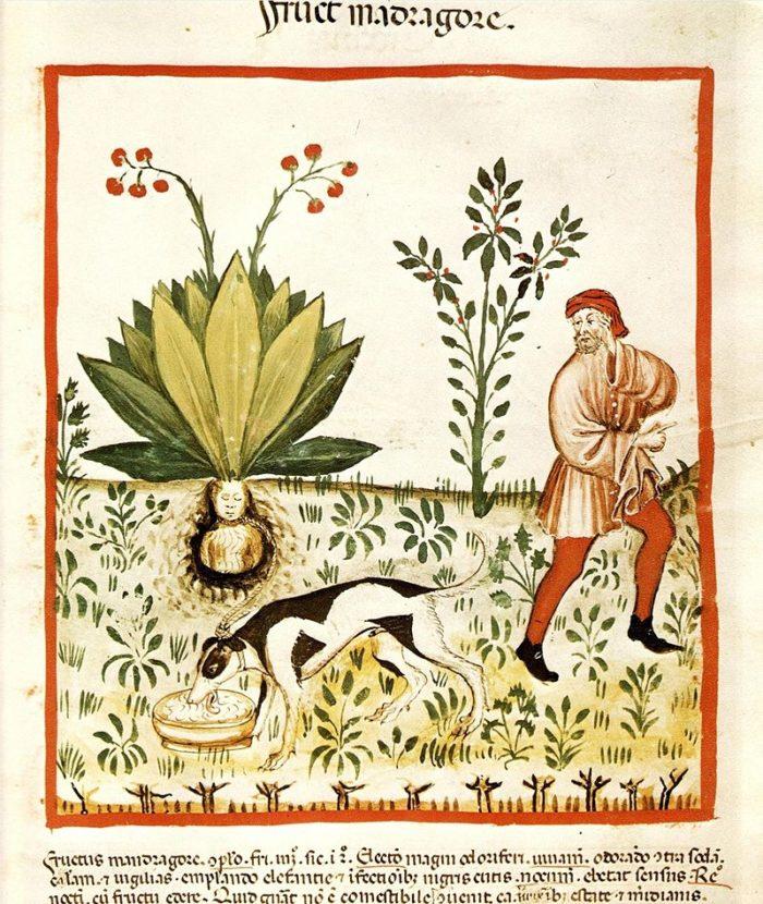 Arrachage d'une mandragore. Manuscrit Tacuinum Sanitatis, Bibliothèque nationale de Vienne, v. 1390. - Wikipédia - Domaine public