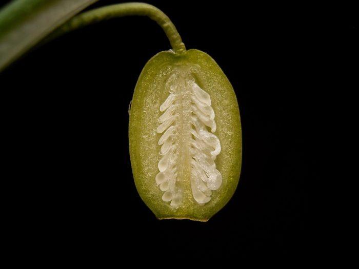 Coupe d'un ovaire de Galanthus nivalis