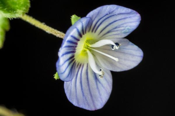 Fleur de Veronica persica