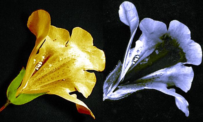 Images d'une fleur de Mimulus en lumière visible (à gauche) et en ultraviolette (à droite), montrant le guide à nectar sombre.