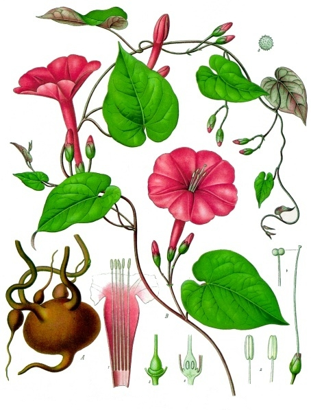 Ipomoea_purga_-_Köhler–s_Medizinal-Pflanzen-077