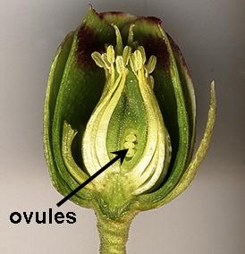 Ovules dans une fleur de Helleborus foetidus