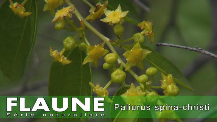 S2E07 - Paliurus spina-christi