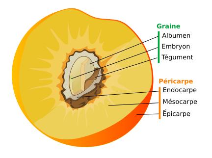 Schéma de la coupe d'un fruit charnu