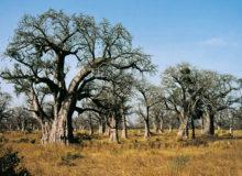Forêt de Baobabs (Adansonia digitata) Sénégal