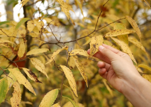 Photographie de la main d'une personne qui touche les feuilles jaunes d'un arbre en automne