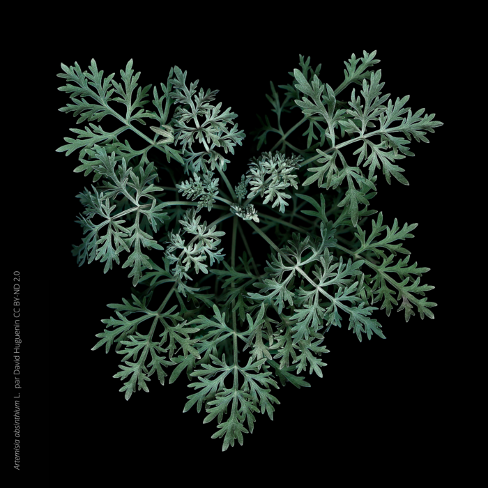 Absinthe, <i>Artemisia absinthium </i> L. par David Huguenin CC BY-ND 2.0