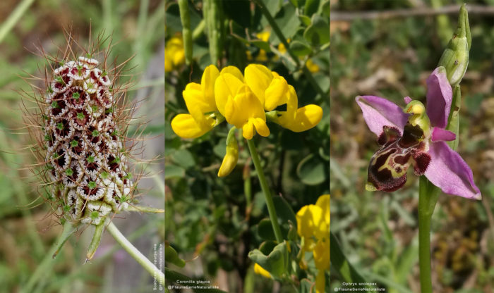 Flaune-2020---Coronilla---Ophrys---Scabiosa