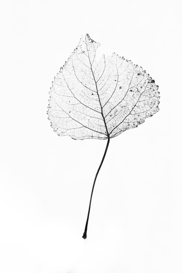 Populus nigra L. [1753] (bdtfx) par Hervé Tiger