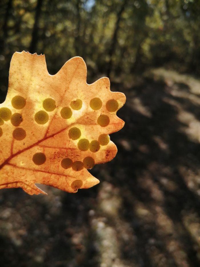 Quercus pubescens Willd. [1805] (bdtfx) par Alinegouirand