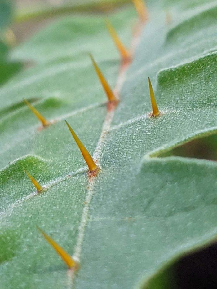 Solanum pyracanthos Lam. (autre) par dbastia