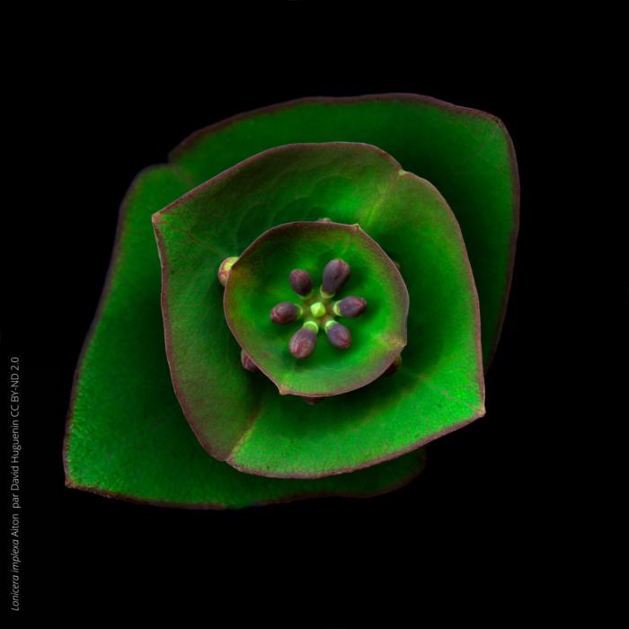 Artemisia-absinthium-L.-par-David-Huguenin-CC-BY-ND-2.01-700x700