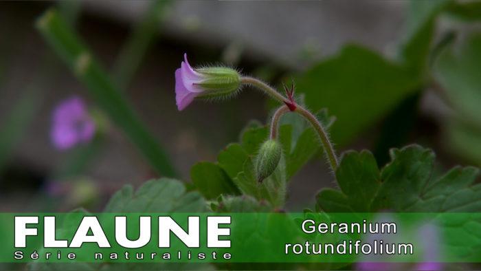 S2E09---Geranium-rotundifolium