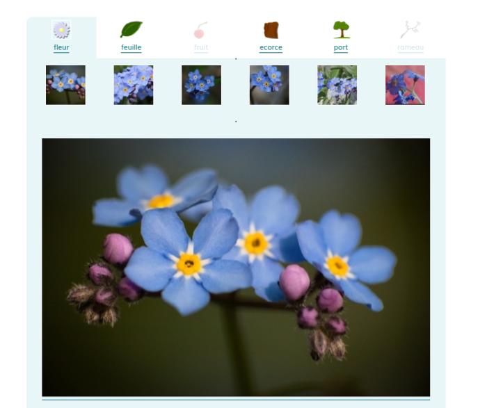Aperçu des photos affichées par organe sur eFlore, aucune photographie de fruit