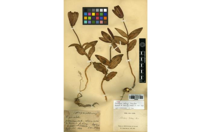 Spécimen type de <i>Fritillaria delavayi </i>Franch.