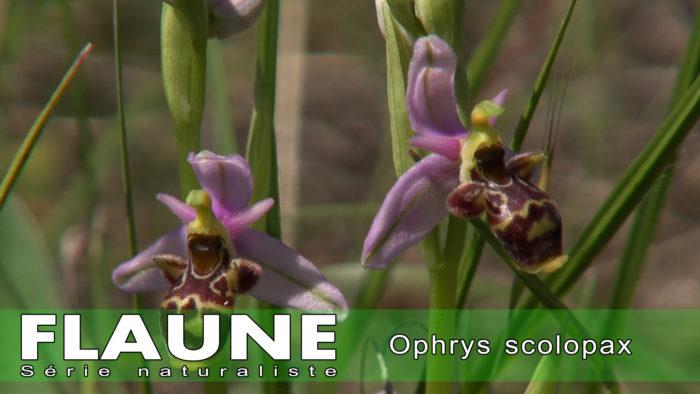 S2E12---Ophrys-scolopax