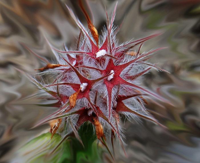 Trifolium stellatum (autre) par Josette Puyo