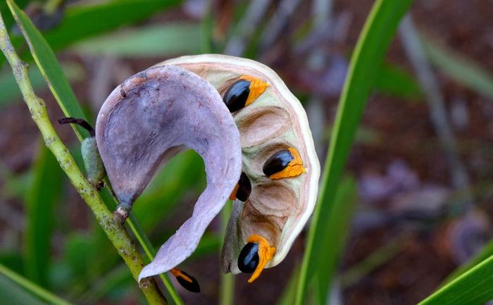 Tristianopsis (autre) par Josette Puyo