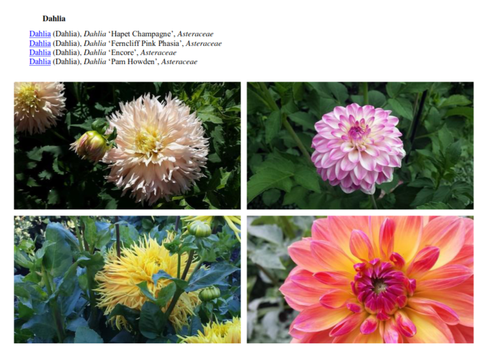 page du livre présentant des photographies de dahlia