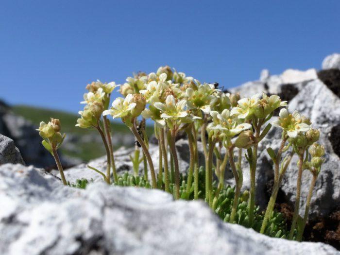 Saxifraga exarata Villars (Saxifragaceae) Font d'Urle Vercors Drôme R0144440