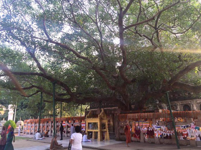 Maha_Bodhi_tree_2
