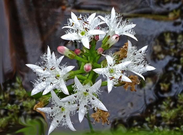 Menyanthes trifoliata (autre) par Josette Puyo