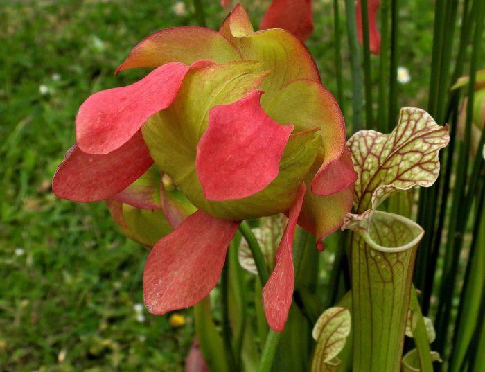 Sarracenia leucophylla (autre) par Josette Puyo