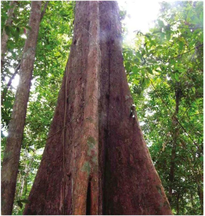 Cet arbre de la forêt amazonienne arbore de hauts contreforts qui lui assurent une meilleure assise au sol.