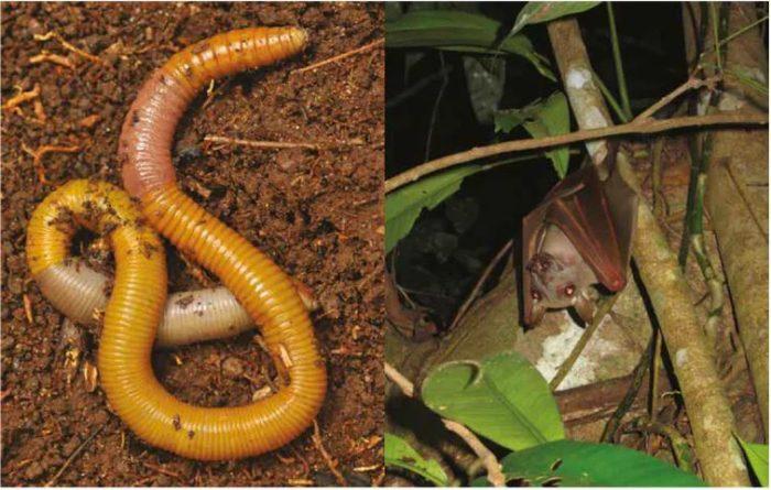 Les vers de terre (G) aident à régénérer les sols tandis que les chauves-souris (D) disséminent les graines.