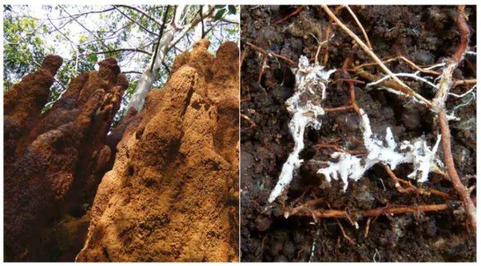 Les termites (G) accroissent la résistance des forêts tropicales à la sécheresse ; les mycorhizes (D), autant de champignons invisibles, mais essentiels aux arbres.